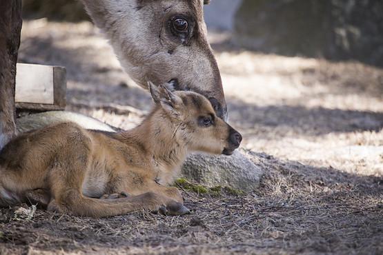 The first European forest reindeer fawn